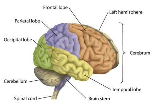 Brain diagram labeled with functions