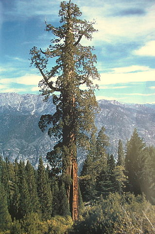 Boole tree, Sequoia National Forest, 2007.
